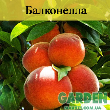 Колоновидный персик Балконелла - фото