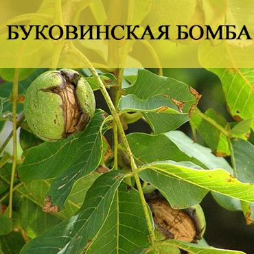 Привитый орех Буковинская бомба - фото