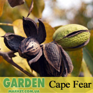 Орех Пекан Cape Fear