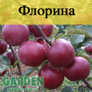 Саженцы яблонь Флорина