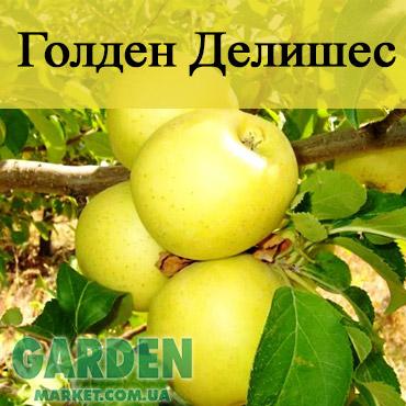 Саженцы яблони Годен Делишес