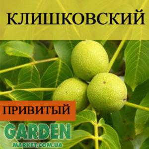 Грецкий орех Клишковский (привитой)