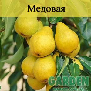 Груша Медовая - фото