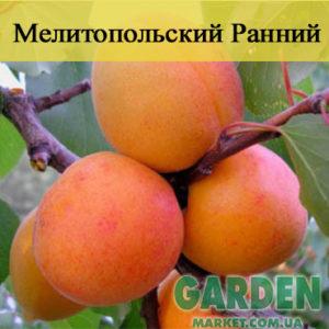 Абрикос Мелитопольский Ранний - фото