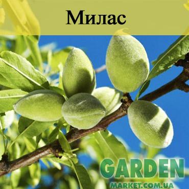 Миндаль Милас