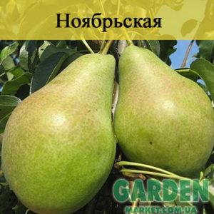 Груша Ноябрьская - фото