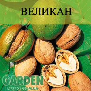 Саженцы грецкого ореха Великан
