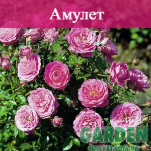 Бордюрные розы сорта Амулет