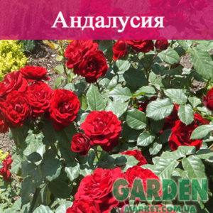 Роза бордюрная Андалусия