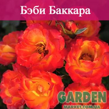 Бордюрные розы сорта Бэби Баккара