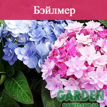 Гортензия Бэйлмер