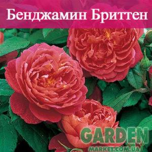 Английские розы сорта Бенджамин Бриттен