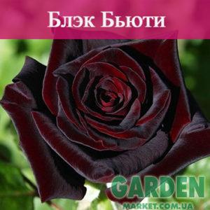 Роза Блэк Бьюти