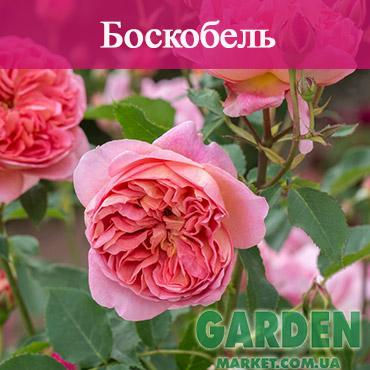 Английские розы сорта Боскобель