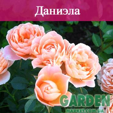 Бордюрные розы сорта Даниэла