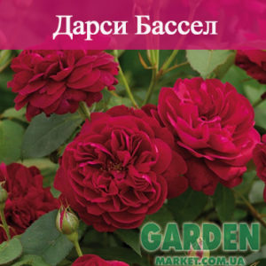 Английские розы сорта Дарси Бассел