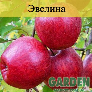 Яблоня Евелина