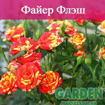 Бордюрные розы сорта Файер Флэш