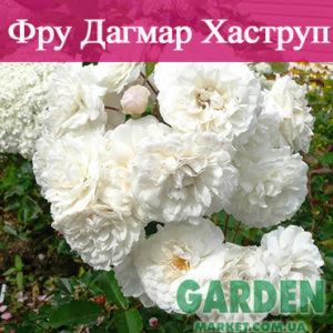 Почвопокровные розы сорта Фру Дагмар Хаструп