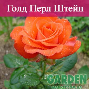 Роза Голд Перл Штейн