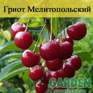 Вишня Гриот Мелитопольский