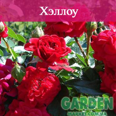 Почвопокровные розы сорта Хэллоу