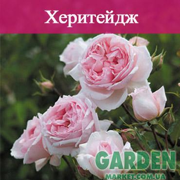 Английские розы сорта Херитейдж
