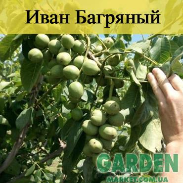 Орех Иван Багряный