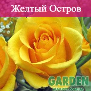 Роза Желтый Остров