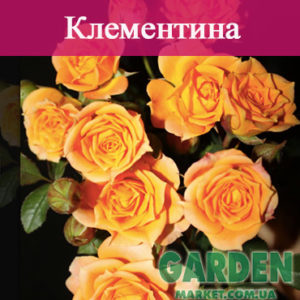 Бордюрные розы сорта Клементина