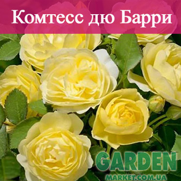 Бордюрные розы сорта Комтесс дю Барри