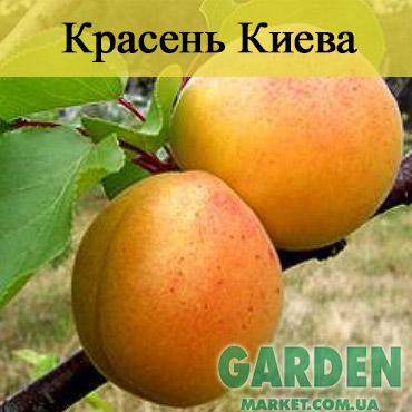 Абрикос Красень Киева