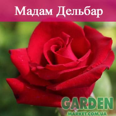 Роза Мадам Дельбар