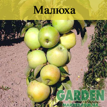 Яблоня колоновидная Малюха