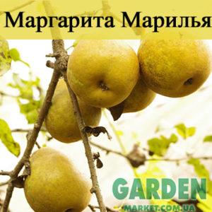 Груша Маргарита Марилья