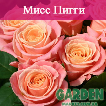 Роза Мисс Пигги
