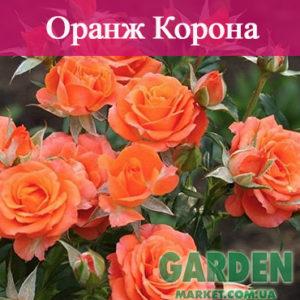Бордюрные розы сорта Оранж Корона