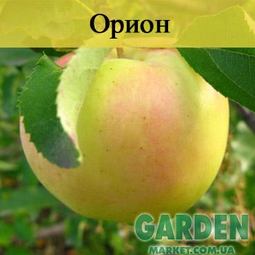 Яблоня Орион