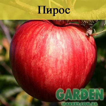 Яблоня Пирос