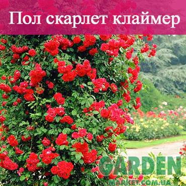 Роза плетистая Пол скарлет клаймер