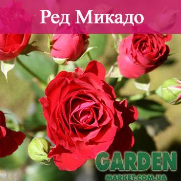 Бордюрные розы сорта Ред Микадо
