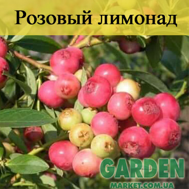 Голубика Розовый Лимонад