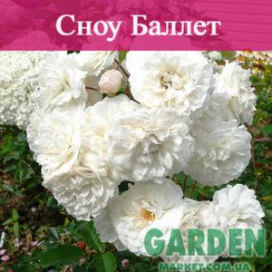 Почвопокровные розы сорта Сноу Баллет