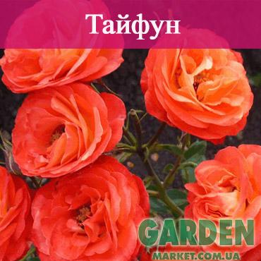 Бордюрные розы сорта Тайфун