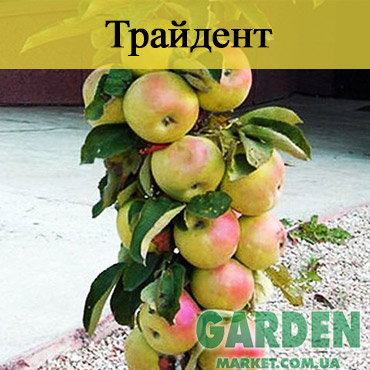Яблоня колоновидная Трайденг