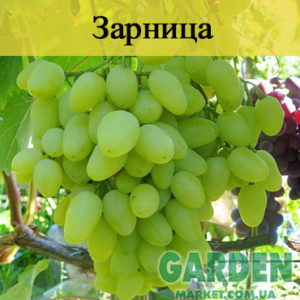 Виноград Зарница